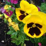Flor preta & amarela Fotografia de Stock Royalty Free