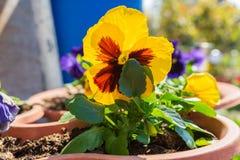 Flor preta amarela em um potenciômetro imagens de stock royalty free