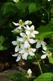 Flor preta da baga Imagem de Stock
