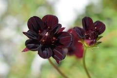 Flor preta pequena da dália Fotografia de Stock