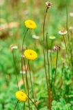 Flor principal amarilla foto de archivo libre de regalías