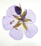 Flor púrpura presionada Imagen de archivo