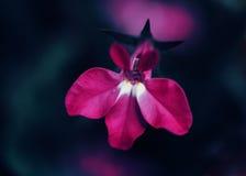 Flor púrpura rosada mágica soñadora de hadas hermosa en fondo borroso descolorado Imágenes de archivo libres de regalías