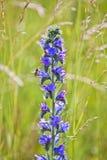 Flor prudente no prado Imagem de Stock Royalty Free