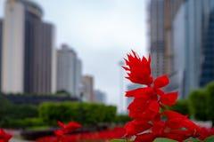 Flor prudente vermelha bonita do close-up no distrito financeiro borrado e no fundo nublado do céu imagem de stock royalty free