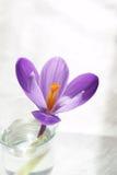 Flor pura fotografia de stock royalty free