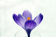 Flor pura del azafrán Foto de archivo libre de regalías
