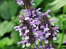 Flor purpúrea clara Foto de archivo libre de regalías