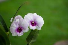 Flor purpúrea clara de la orquídea del Dendrobium que florece con los centros vivos Imágenes de archivo libres de regalías