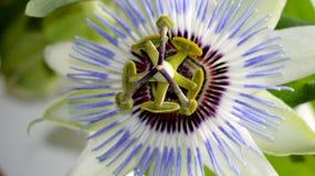 Flor purpúrea clara de la pasión Imagen de archivo libre de regalías