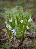 Flor Puschkinia de la primavera Fotos de archivo libres de regalías