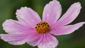Flor que balança no vento - cosmos Bipinnatus do cosmos do jardim video estoque