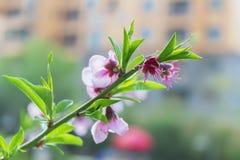 Flor que floresce no jardim, close up do pêssego da foto imagem de stock royalty free
