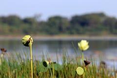 Flor que hace frente al agua Imagen de archivo