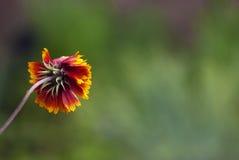 Flor que hace frente lejos Fotos de archivo libres de regalías