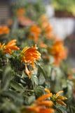 Flor que sube anaranjada Imagenes de archivo