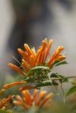 Flor que sube anaranjada Imagen de archivo libre de regalías