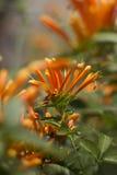 Flor que sube anaranjada Foto de archivo libre de regalías