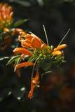 Flor que sube anaranjada Foto de archivo