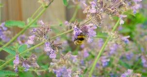 Flor que va de la abeja a florecer almacen de video