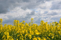 Flor rapseed amarelo foto de stock