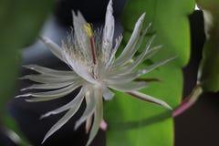 Flor rara da rainha da noite imagem de stock royalty free