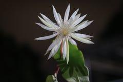 Flor rara da rainha da noite do anguliger de Epiphyllum foto de stock