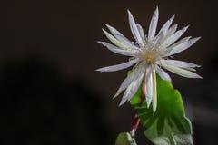 Flor rara da rainha da noite do anguliger de Epiphyllum foto de stock royalty free