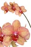 Flor rayada de la orquídea foto de archivo