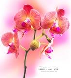 Flor rayada rosa de la orquídea Fotos de archivo libres de regalías