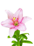 Flor real del lirio Foto de archivo