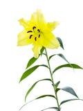 Flor real del lirio Imágenes de archivo libres de regalías