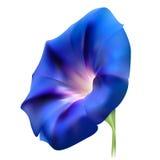 Flor realista azul de la enredadera Fotos de archivo libres de regalías