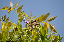 Flor reciente de la glicinia de la hoja Fotografía de archivo
