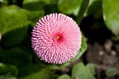 Flor redonda cor-de-rosa Fotografia de Stock Royalty Free