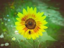 Flor retra del girasol de la mirada Imagenes de archivo
