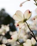 Flor retroiluminado del cornejo fotografía de archivo