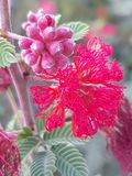 Flor rizada roja asombrosa fotografía de archivo