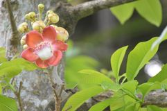 Flor robusta do Shorea Fotografia de Stock