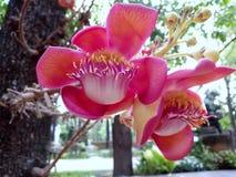 Flor robusta do Shorea, flor da bala de canhão imagens de stock