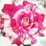 Flor rodada Fotografia de Stock Royalty Free