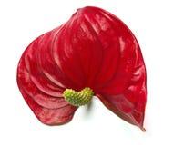 Flor roja Foto de archivo libre de regalías
