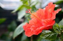 Flor roja. Foto de archivo