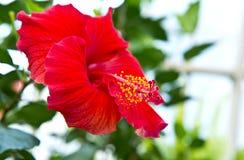 Flor roja Imagen de archivo libre de regalías