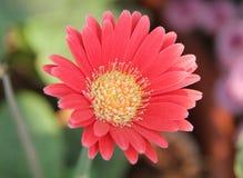 Flor roja fotos de archivo libres de regalías