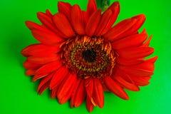 Flor roja aislada en un fondo verde Fotografía de archivo