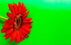 Flor roja aislada en un fondo verde Imagen de archivo libre de regalías