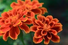 Flor roja, amarilla Fotografía de archivo