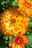 Flor roja anaranjada hermosa del aster foto de archivo