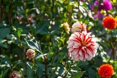 Flor roja blanca de la dalia Foto de archivo
